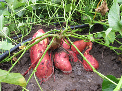 How to grow sweet potato