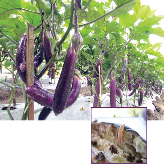 common vegetable pests