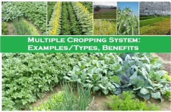 Multiple Cropping System: Examples/Types, Benefits