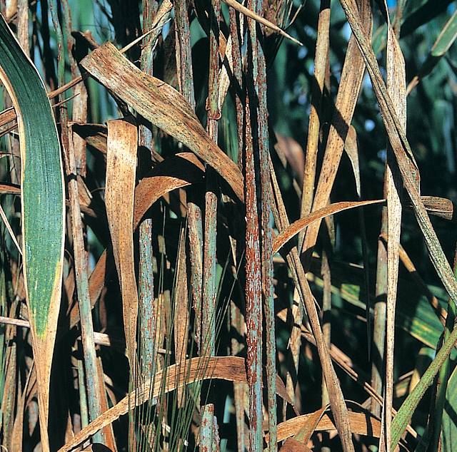 Black rust, stem rust, rust of wheat