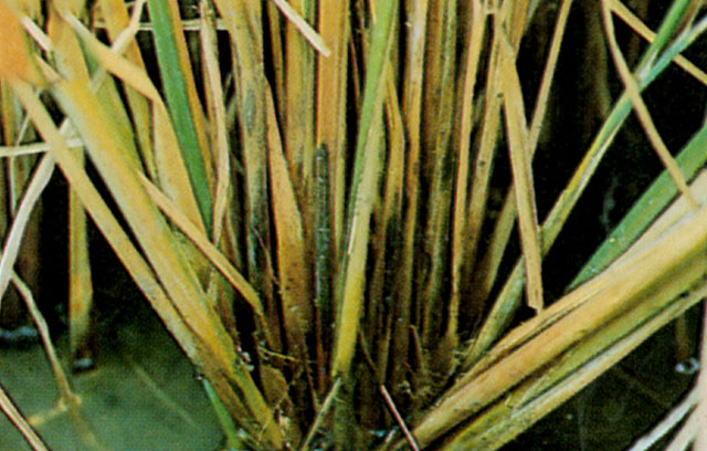 Stem rot of rice management