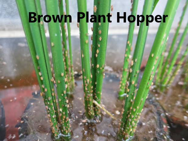 Brown Plant Hopper management