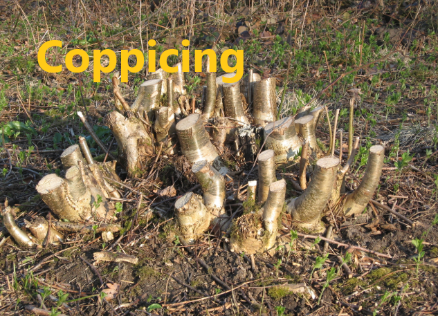 Coppicing
