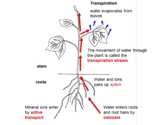 Ion uptake and Transport Mechanism