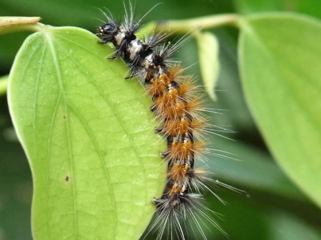 Jute Hairy caterpillar control measures