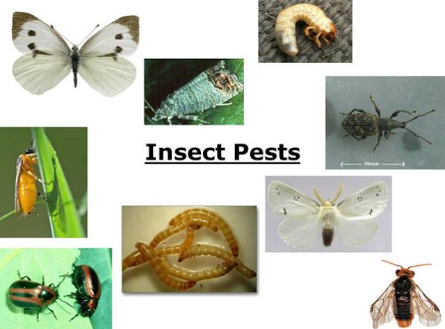 List of pest of crops