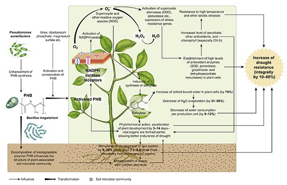 Physiological features of drought resistant plants