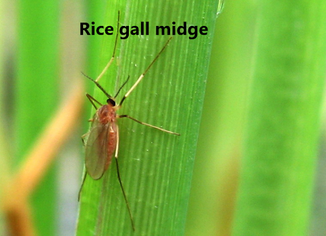 Rice gall midge control measures