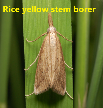 Rice yellow stem borer