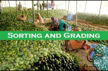 Sorting and Grading of Fruits and Vegetables