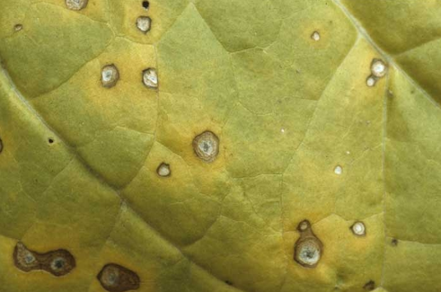 Symptoms and Management of FrogEye Leaf spot Tobacco