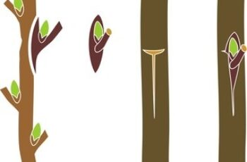 Difference between Budding and Grafting