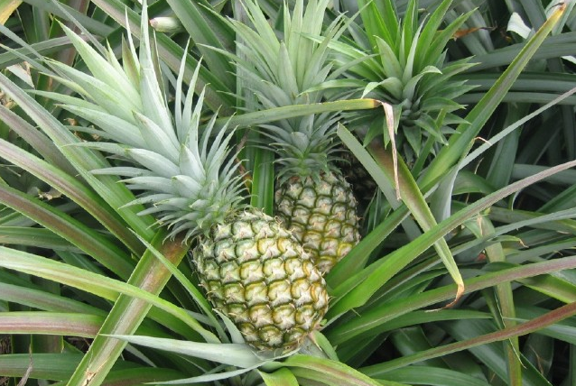 Pineapple production in Bangladesh