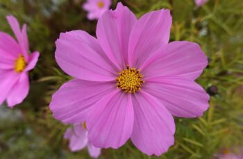 How to grow cosmos plants