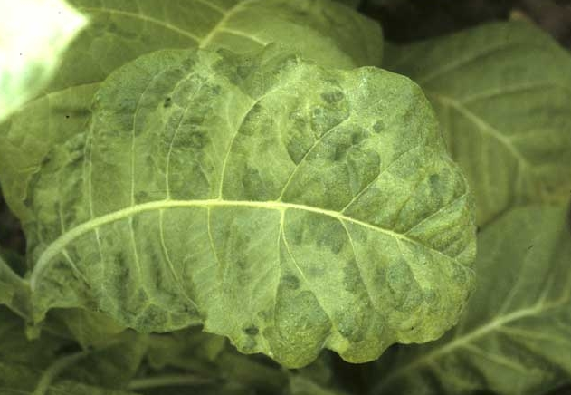 Symptoms and Management of Tobacco leaf curl virus
