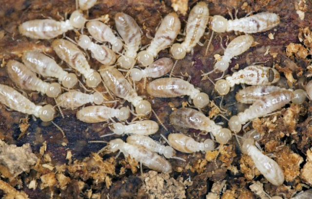 White ant termite (Forest pest)