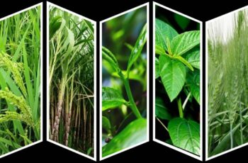 External Morphology of Tea, Rice, Wheat, Sugarcane