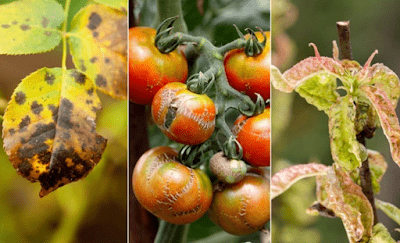 List of plant diseases and their causal organism
